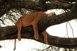 Echarse siesta león