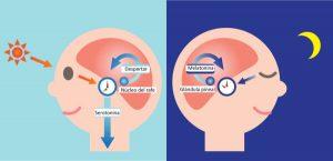 R.circadianos infografía